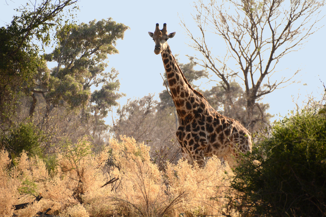 Several times during our game drives, a giraffe seemed to mysteriously materialize out of the bush...