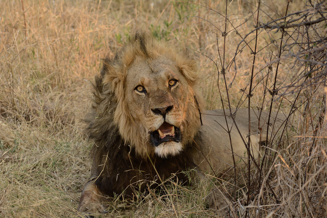 Like a professional model, this lion provided us with several facial expressions...