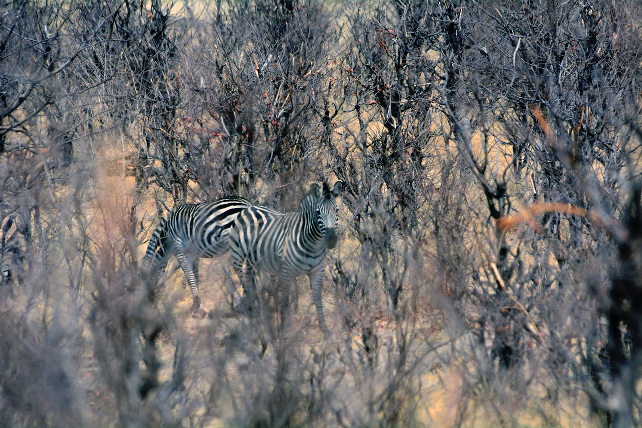 ...while others try to blend in with the parched brush.  Some zoologists believe that a zebra's black-and-white stripes are a type of camouflage called disruptive coloration that both conceals the zebra and should the zebra be seen, confuses predators by distorting distance.