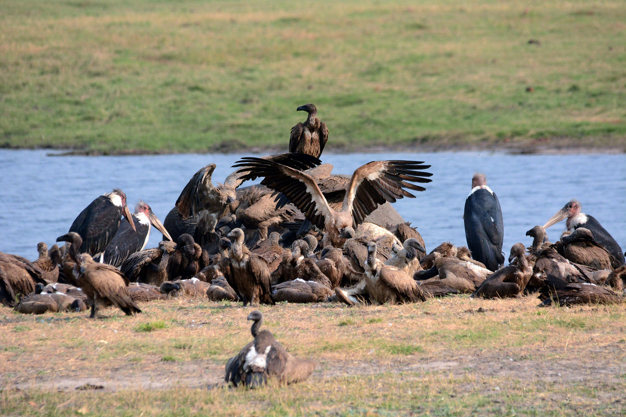 It's hard to feel sorry for the vulture, but they are facing a serious threat.  Poachers hate them because they alert rangers to the presence of their illegal kills, often before the poachers have time to saw off tusks and disappear into the bush.