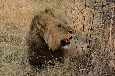 Nothing quite says Africa like a full-maned lion.
