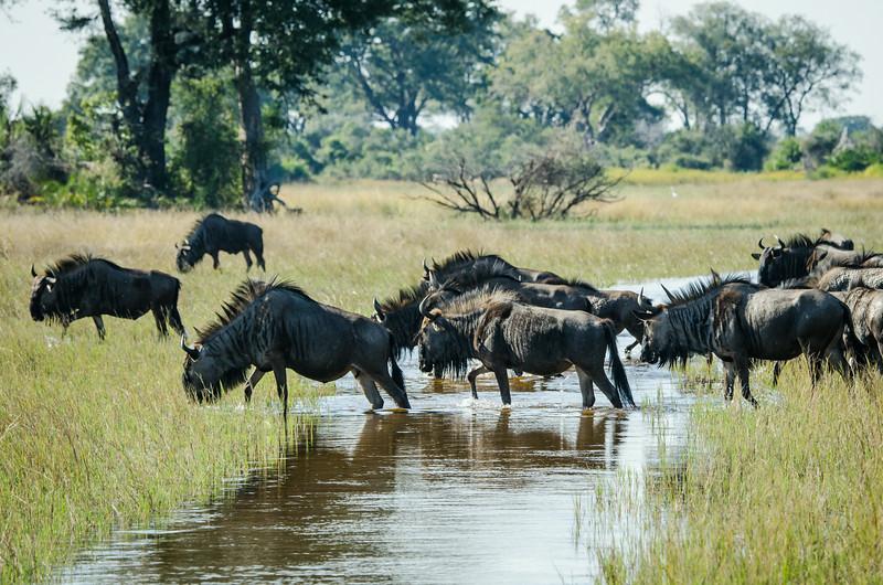 Blue Wildebeest Crossing