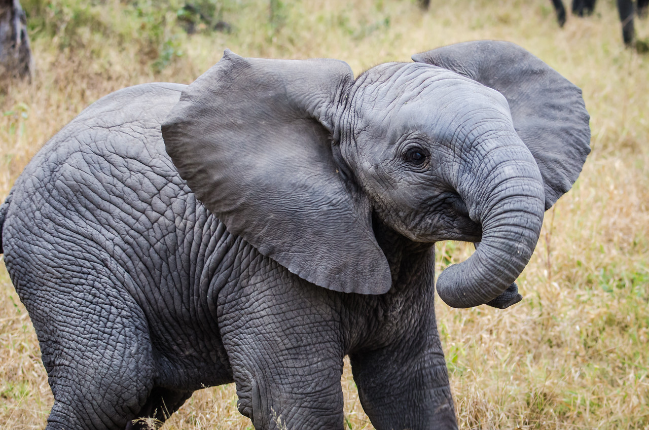Baby African Elephant