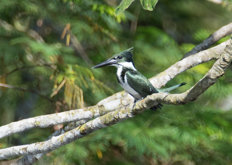 Female Amazon Kingfisher