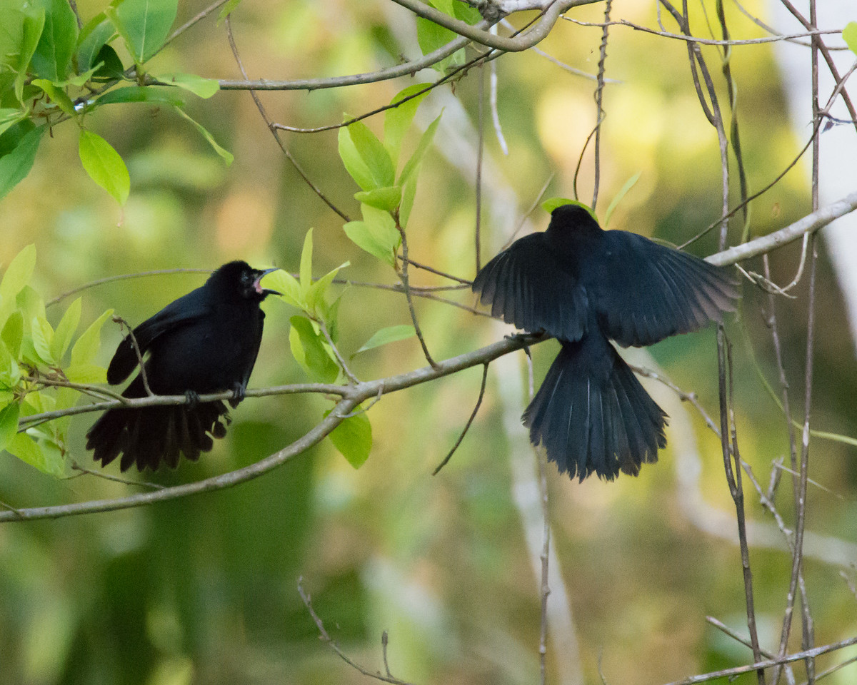 Velvet-fronted Grackles