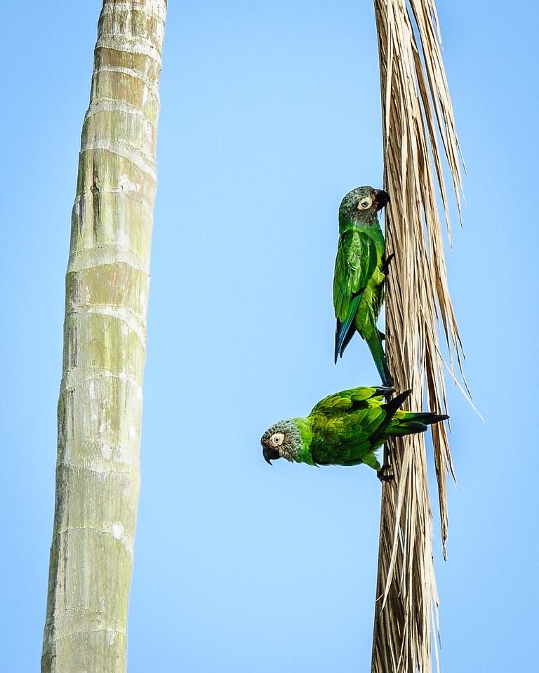 Dusky-headed Parrots