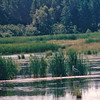 Great Blue Heron Near Mary's Point, New Brunswick, Canada  8-26-97