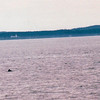"Porpoise Playing Nearby - S/V ""Cory"" - St. Andrews by the Sea, New Brunswick, Canada  8-25-97"