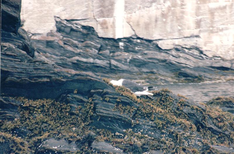 Seagull on Rocks - Ovens Natural Park - Riverport, Nova Scotia, Canada  9-1-97