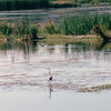 Great Blue Heron - Alma, New Brunswick, Canada  8-26-97<br /> A slender wading bird that grows to a height of about 4 feet tall.  Breeds in colonies from S. Canada to Mexico, choosing warmer climates in the wintertime.