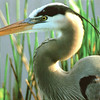 Postcard - Wish I'd Taken This Photo - Great Blue Heron