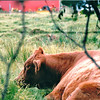 Contented Cow - Views Through the Fence at Sackville Waterfowl Park - Sackville, New Brunswick, Canada  8-26-97
