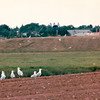 Flocks of Gulls - Moncton, New Brunswick, Canada  8-26-97