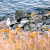 Great Black-backed Gull, Immature - Along the Way - Nova Scotia, Canada  8-29-97<br /> This gull will mature to 30 inches and is the largest gull.