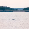 "Minke Whale Sighting - S/V ""Cory"" - St. Andrews by the Sea, New Brunswick, Canada  8-25-97<br /> This is one of the smallest of baleen whales, a toothless whale with a unique food-filtering maw).  It grows to 30 ft and weighs approximately 10 tons."