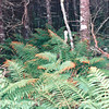 Biggest Ferns We Ever Saw - Tiverton on Long Island - Digby Neck, Nova Scotia, Canada  9-2-97
