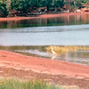 Great Blue Heron Seeking Breakfast - Notice Red Clay of PEI, Canada  8-28-97