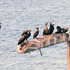 Double-crested Cormorants - On the Way to New Glasgow - Veinot Causeway - Nova Scotia, Canada  8-29-97<br /> Birds lay 3-5 eggs in a well-made platform of sticks or of seaweed on the coast, placed in a tree or on a cliff or rocky island.  They nest in colonies.