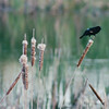 Red-winged Blackbird on Cattails at Pond Area at the Hotel - Thunder Bay, Ontario, Canada  6-2-99