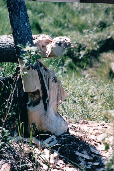 Closeup of Tree Eaten by Beaver - Wildlife and Marsh Area Near Thunder Bay - Ontario, Canada  6-3-99