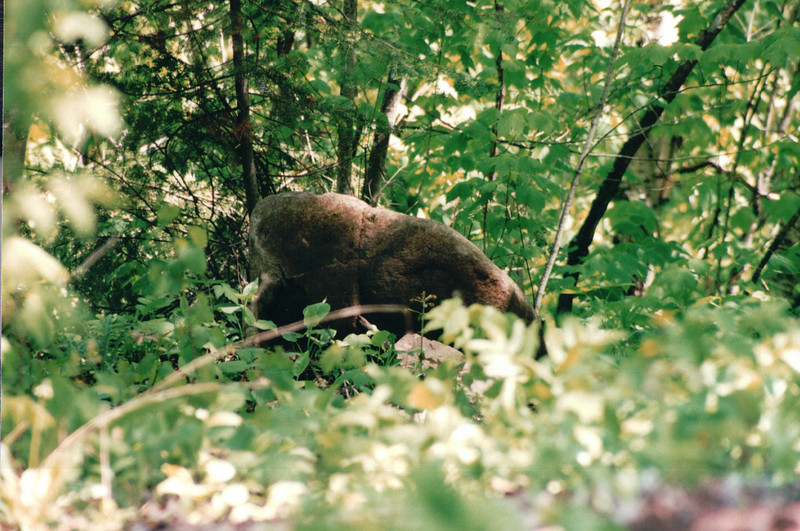 Thought We Saw a Bear - Ontario, Canada  6-2-99
