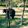 Bear Along Roadside - Thunder Bay, Ontario, Canada  6-3-99