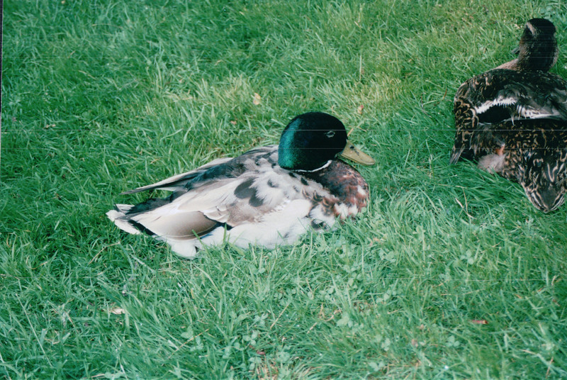 Mallard Ducks - Halifax Gardens - Halifax, Nova Scotia  6-26-03