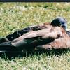 Mallard Duck - Halifax Gardens - Halifax, Nova Scotia  6-26-03
