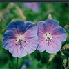 Blooms in Halifax Gardens - Halifax, Nova Scotia  6-26-03