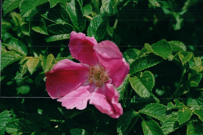 Rugosa Roses - Walk Along Harbor - Sydney, Nova Scotia  6-25-03