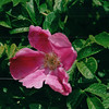 Rugosa Roses - Walk Along Harbor - Sydney, Nova Scotia  6-25-03