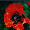 Red Poppy - Halifax Gardens - Halifax, Nova Scotia  6-26-03