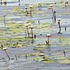 Lily pads  - river game drive, Zimbabwe