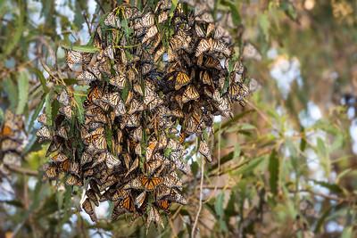 Monarch Butterfly Grove, Pismo Beach