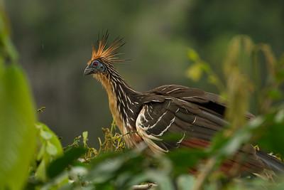 Hoatzin, aka stinkbird