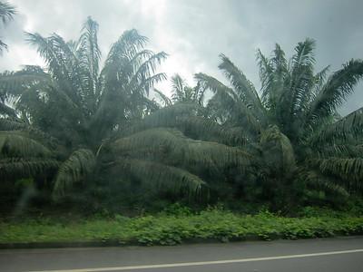 Non-native palm oil trees