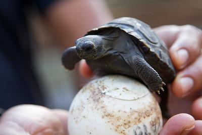 baby giant tortoise and giant tortoise egg!