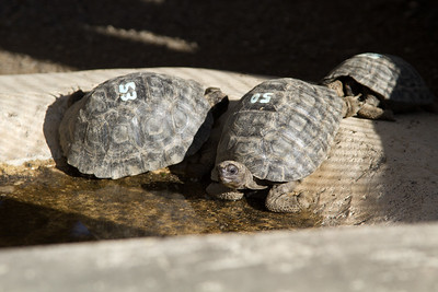 baby giant tortoises, complete with racing numbers :-)