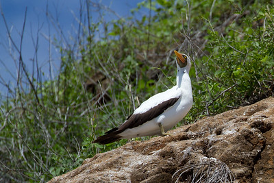 Nazca booby at Kicker Rock -- I think I now know where Big Bird's inspiration came from (look at his face)