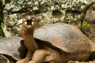 Giant tortoise at Floreana Island reserve