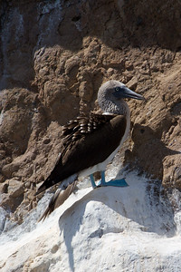 Blue-footed booby at Kicker Rock