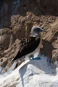 Blue-footed booby at Kicker Rock
