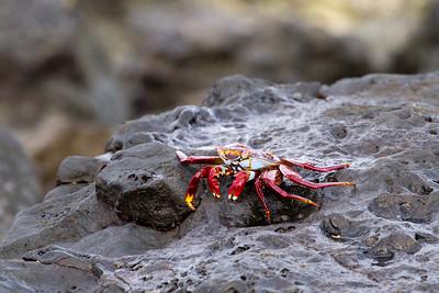 Sally Lightfoot crab at San Cristobal Island waterfront