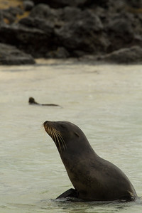 Galapagos sea lion and marine iguana (background) at Manglecito Beach, San Cristobal Island