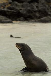 Galapagos sea lion and marine iguana (background) at Manglecito Beach, San Cristobal Island