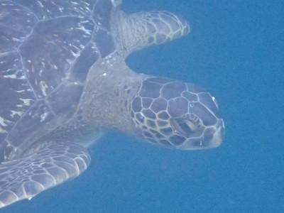 Green sea turtle snorkeling at Kicker Rock