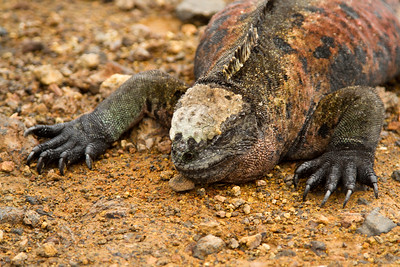 Marine iguana at Floreana Island waterfront