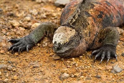 Marine iguana at Floreana Island waterfront
