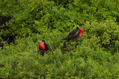 Great Frigatebirds on San Cristobal Island