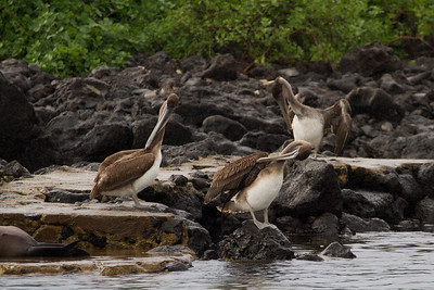 Brown pelicans on San Cristobal Island
